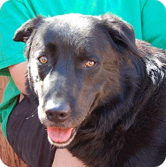 Retriever (Unknown Type)/Shepherd (Unknown Type) Mix Dog for adoption in Las Vegas, Nevada - Mr. Samuel