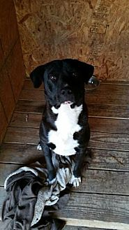 Labrador Retriever/Terrier (Unknown Type, Medium) Mix Dog for adoption in Hankamer, Texas - Luke