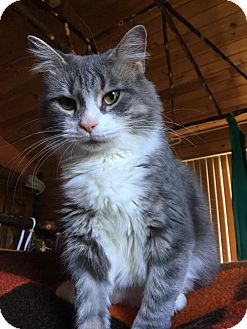 Maine Coon Cat for adoption in Absecon, New Jersey - Karlina