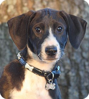 Hound (Unknown Type)/Foxhound Mix Puppy for adoption in Cedartown, Georgia - Whitney