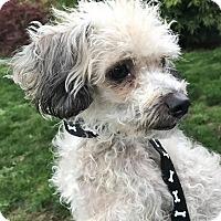 Adopt A Pet :: Abby - Tumwater, WA