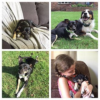 Miniature Pinscher/Rat Terrier Mix Dog for adoption in Saddle Brook, New Jersey - Sweet Pea