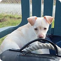 Adopt A Pet :: Li'l Nugget - Patterson, CA