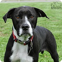 Adopt A Pet :: Puddin Pop NKA Bella Fostered (Jennifer) - Troy, IL