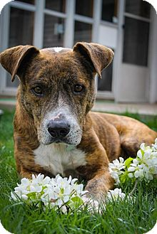 Plott Hound Mix Dog for adoption in Fort Collins, Colorado - Tiger