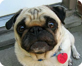 Pug Dog for adoption in Eagle, Idaho - Bo