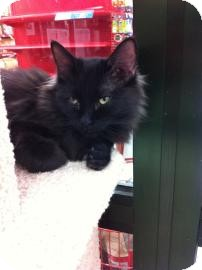 Domestic Longhair Cat for adoption in Fountain Hills, Arizona - MILO