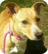 Collie/Golden Retriever Mix Dog for adoption in Lincolnton, North Carolina - Rose
