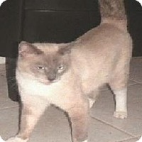 Domestic Shorthair Cat for adoption in Miami, Florida - Ling Ling