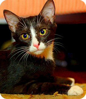 Domestic Shorthair Kitten for adoption in Chattanooga, Tennessee - Skye