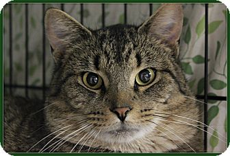 Domestic Shorthair Cat for adoption in New Richmond,, Wisconsin - Cosmo