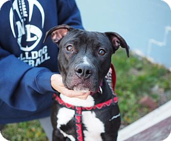 Pit Bull Terrier Mix Dog for adoption in Whitehall, Pennsylvania - Edgar Allen Pit