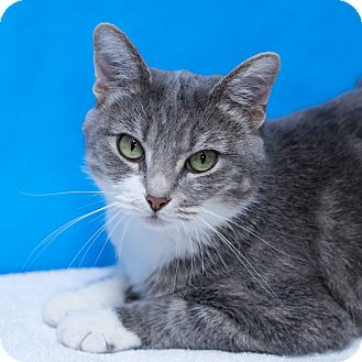 Domestic Shorthair Cat for adoption in Houston, Texas - Turkey