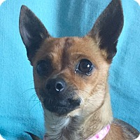 Adopt A Pet :: Foxy - San Francisco, CA