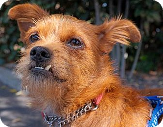 Border Terrier/Brussels Griffon Mix Dog for adoption in Beverly Hills, California - LEONARDO