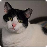 Adopt A Pet :: Bandette - Lunenburg, MA