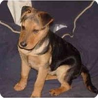 Adopt A Pet :: Max ~ Shep/SharPei - Alliance, OH