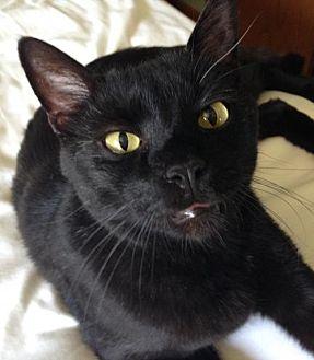 Domestic Shorthair Cat for adoption in Shakopee, Minnesota - Blackie C1296