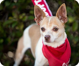 Chihuahua Mix Dog for adoption in Vista, California - Pebbles