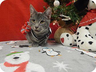 American Shorthair Kitten for adoption in Holden, Missouri - Dusty Sage