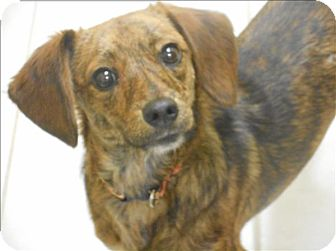 Beagle/Dachshund Mix Dog for adoption in Osage Beach, Missouri - Marty