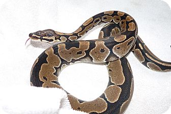 Snake for adoption in Richmond, British Columbia - Dodger