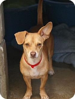 Chihuahua/Dachshund Mix Puppy for adoption in Vancouver, British Columbia - Tia