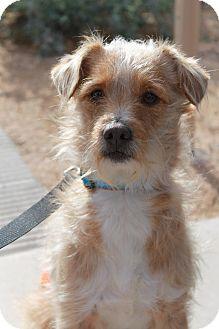 Terrier (Unknown Type, Medium) Mix Dog for adoption in Phoenix, Arizona - Wendell