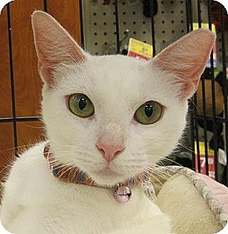 Domestic Shorthair Cat for adoption in Miami, Florida - Nieves