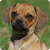 Adopt A Pet :: Abby Rose - Providence, RI