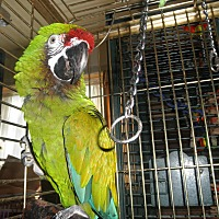 Macaw for adoption in Neenah, Wisconsin - Coda