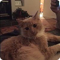 Adopt A Pet :: Cream Puff- dog like lovebug - Arlington, VA