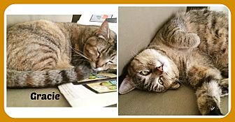 American Shorthair Cat for adoption in Malvern, Arkansas - GRACIE