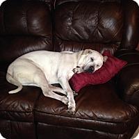 Shar Pei/Boxer Mix Dog for adoption in Yukon, Oklahoma - Puggs