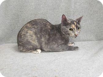 Domestic Shorthair Cat for adoption in Waldorf, Maryland - Chloe