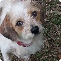 Adopt A Pet :: Tinkerbelle - Ormond Beach, FL