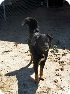 Shepherd (Unknown Type) Mix Dog for adoption in Quinlan, Texas - Tex