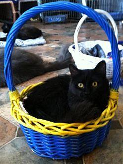 Domestic Shorthair Kitten for adoption in Sherman Oaks, California - Windy
