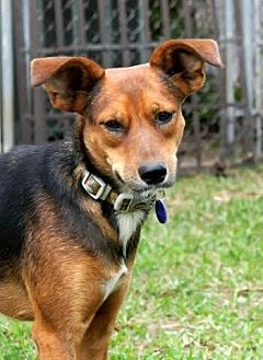 Terrier (Unknown Type, Medium)/Rat Terrier Mix Dog for adoption in Lithia, Florida - DAISY-14 Hollywood, FL