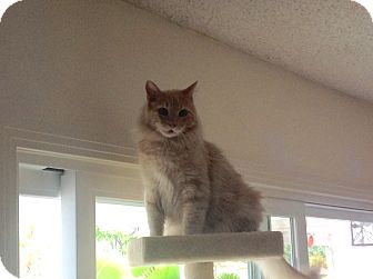 Maine Coon Cat for adoption in Mission Viejo, California - Sunny
