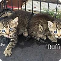 Adopt A Pet :: Ruffian - Denton, TX