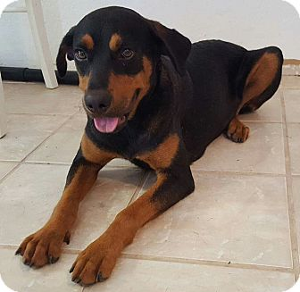 Rottweiler Mix Dog for adoption in East Hartford, Connecticut - Rosie