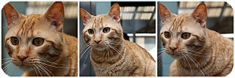 Domestic Shorthair Cat for adoption in Forked River, New Jersey - Lotus