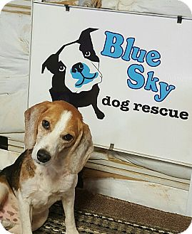 Beagle Dog for adoption in Byhalia, Mississippi - Bert