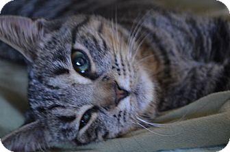 Domestic Shorthair Kitten for adoption in Statesville, North Carolina - Abbi