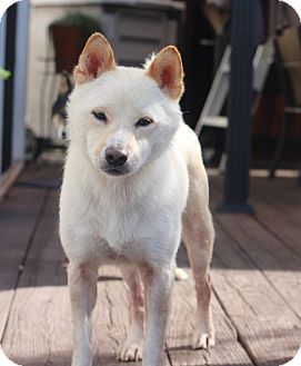 Shiba Inu Dog for adoption in Manassas, Virginia - Shiro