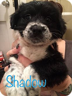 Spaniel (Unknown Type) Mix Puppy for adoption in Fort Atkinson, Wisconsin - Shadow