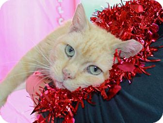 Domestic Shorthair Cat for adoption in Erwin, Tennessee - Brownie
