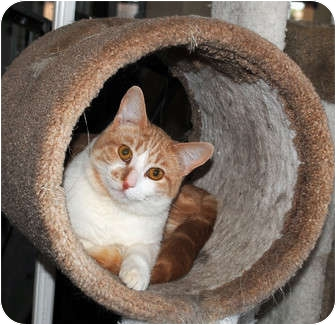 Domestic Shorthair Cat for adoption in Palmdale, California - Mac