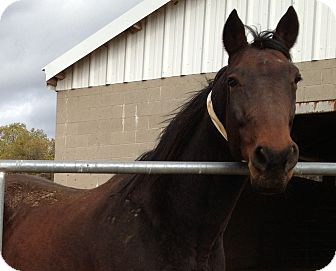 Standardbred Mix for adoption in Sac, California - Master
